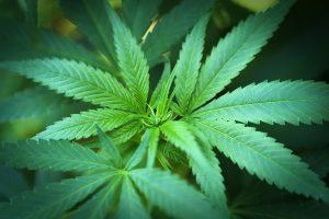 Feuilles de cannabis